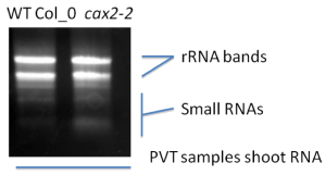 PVT sample shoot RNA